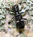 Checkered Beetle - Phyllobaenus unifasciatus