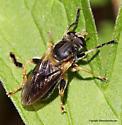 Syrphid Fly - Teuchocnemis lituratus