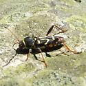 Black and yellow beetle - Clytus ruricola
