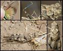 Fontana Grasshopper - Trimerotropis fontana - male