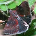 Odd Little Moth - Galgula partita