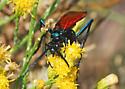 Tarantula Hawk #1 For ID - Pepsis thisbe - male