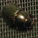 Big Black Beetle - Dyscinetus morator