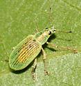 Snout Beetle - Polydrusus formosus