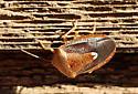 Pentatomidae - Ascra bifida
