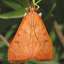 Moth 71 - Uresiphita reversalis