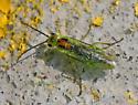 Sawfly (Pamphilidae family?) - Nematus