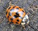 Ladybeetle - Harmonia axyridis