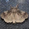 Moth - Dasychira vagans - male