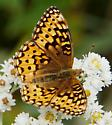 Fritillary sp - Speyeria - male