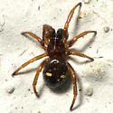 2 Spot Spider - Asagena americana - male