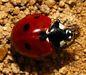 Coccinelidae - Coccinella septempunctata