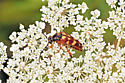 unknown beetle on Queen Anne's lace - Typocerus