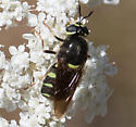 Soldier fly? - Stratiomys
