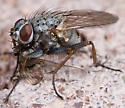 Calyptratae Perhaps? - Mating or Eating? - Coenosia tigrina