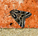 Patterned Moth