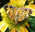 Butterfly on coneflower - Phyciodes tharos