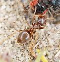 Unidentified Ant - Lasius