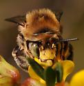 Anthophora - male