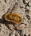 Golden Bee Fly  - Villa
