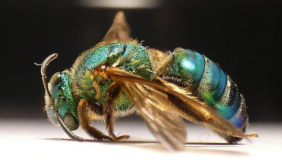 Agapostemon splendens - Agapostemon - female