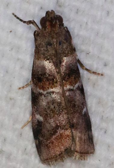 Dioryctria pygmaeella - Bald Cypress Coneworm Moth - Dioryctria pygmaeella