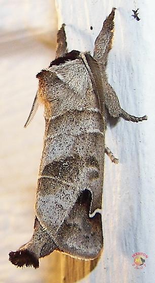 Sigmoid Prominent Moth - Clostera albosigma