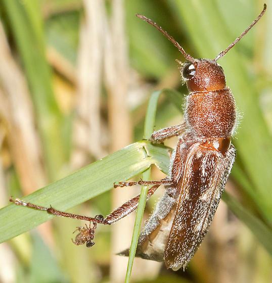 Beetle and pseudoscorpion - Xylotrechus sagittatus
