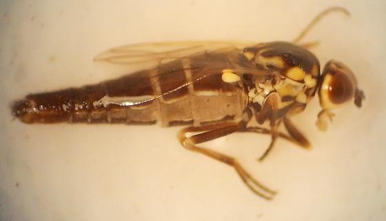 fly - Brevitrichia