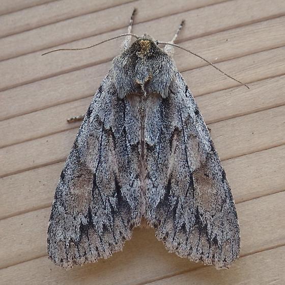 Noctuidae: Andropolia theodori - Andropolia theodori