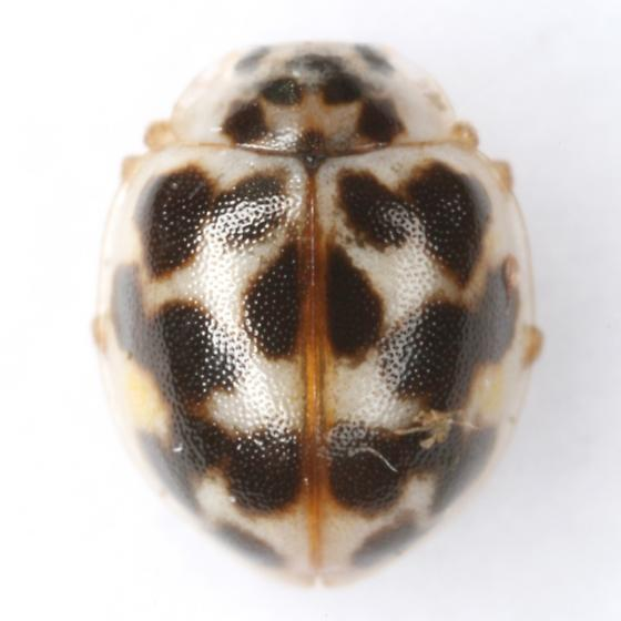 Psyllobora vigintimaculata (Say) - Psyllobora vigintimaculata