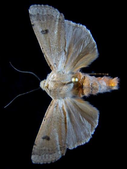 Dichagyris triphaenoides