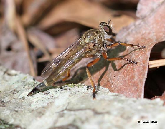 Philonicus rufipennis - female