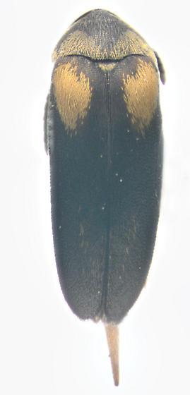 Mordellidae, dorsal - Mordellochroa scapularis