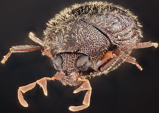 Beetle, anterior-lateral - Caenocara