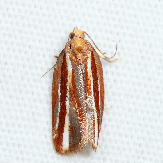 Eastern Black-headed Budworm Moth - Acleris variana