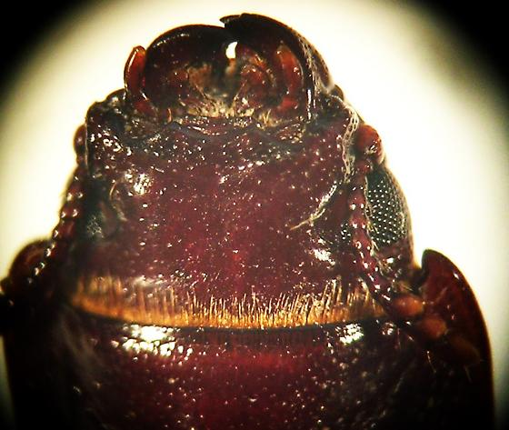 Tenebroides occidentalis