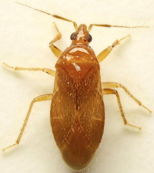 905W05 - Lasiochilus pallidulus