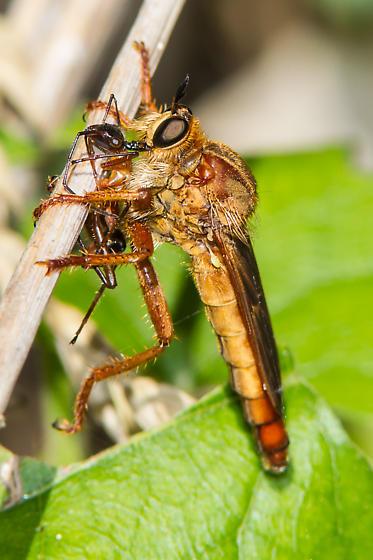 Ospriocerus latipennis - female