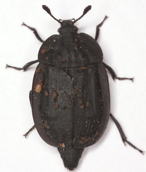 Oiceoptoma inaequalis (Fabricius) - Oiceoptoma inaequale