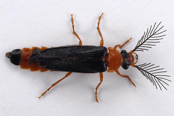 Pterotus obscuripennis ? - Zarhipis integripennis - male