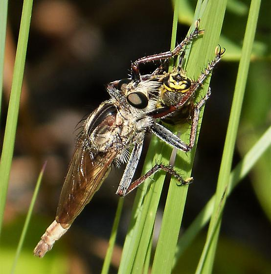 Robberfly Asilidae - male
