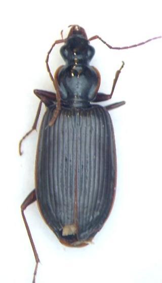 Platynus cincticollis - female