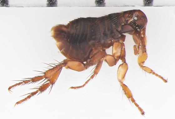 Siphonaptera, rabbit flea #1 - Cediopsylla simplex