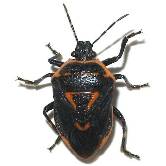 Perillus sp. - Perillus splendidus