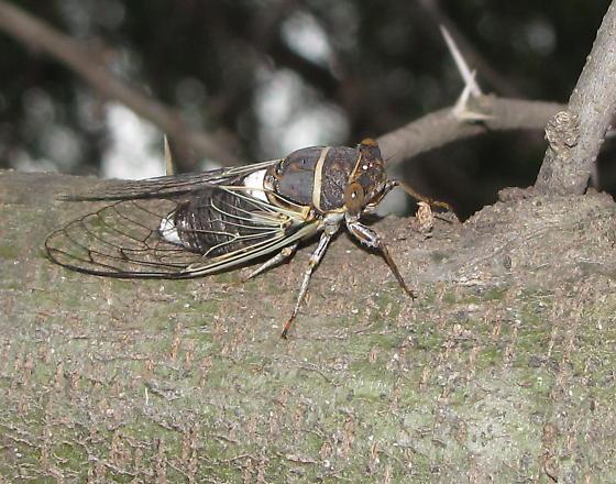 Cicada at TX mini-gathering - Diceroprocta cinctifera - male