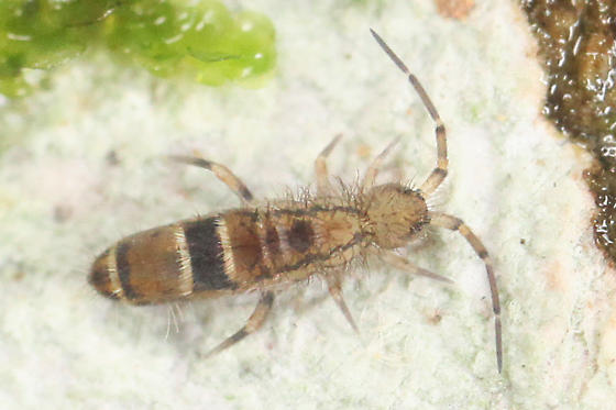 springtail - Orchesella celsa