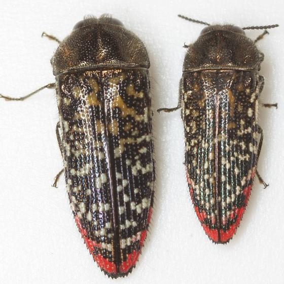 Acmaeodera haemorrhoa LeConte - Acmaeodera haemorrhoa