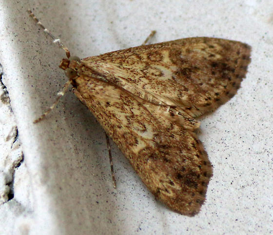 Pyralidae? Erebidae? or ?? - Asciodes gordialis