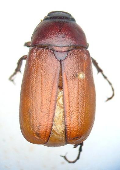 Phyllophaga torta - male